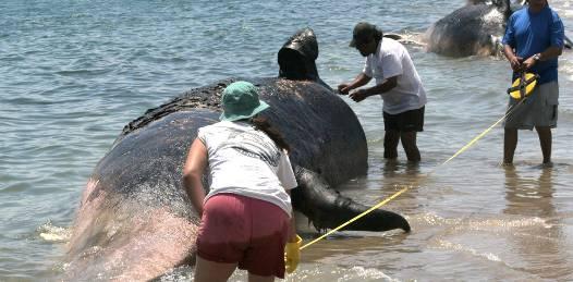 """UABCS estudia """"Distribución espacio-temporal de los varamientos de cetáceos en BCS""""."""