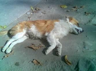 perro_atropellado