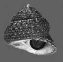 Luis Alejandro Pérez Olachea, egresado de la carrera de Biología Marina de la UABCS, realizó un estudio sobre los hábitos alimenticios del caracol Tegula eiseni en tres arrecifes rocosos de BCS.