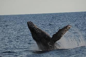 El M. en C. Sergio Martínez Aguilar, egresado de CIMACO, realizó un estudio sobre la abundancia y la tasa de crecimiento de la ballena jorobada en el Pacífico mexicano (Fotografía de Jorge Urbán Ramírez).