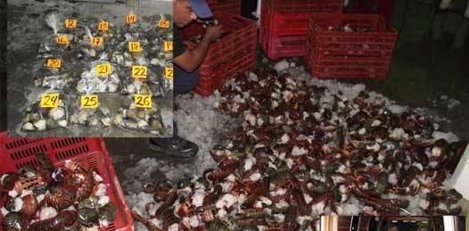 Más de mil 400 kilos de productos pesqueros de alto valor como almeja catarina, langosta y abulón fueron incautados la semana pasada en el municipio de Comondú, informó el Fondo para la Protección de Recursos Marinos de BCS .