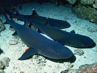 El sábado, arranca el festival del tiburón en Todos Santos