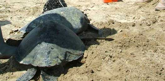 Con 60 mil cartas, piden al Presidente detenga la mortandad de tortugas