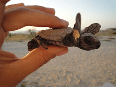 liberación de tortugas