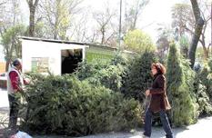 Instalan centros de acopio de árboles navideños