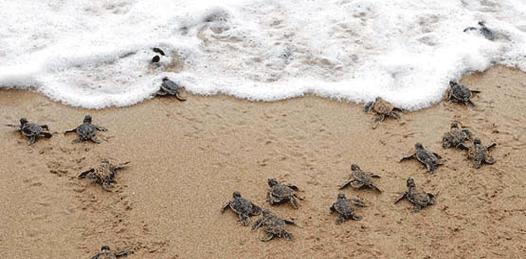 Mortandad de tortugas, ya atrae la atención internacional