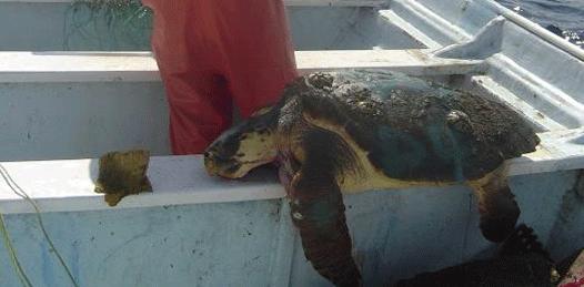 Que no son los pescadores los causantes de mortandad de tortuga, insisten