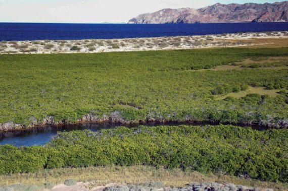 Ecosistema de manglar  R. mangle en Bahía de  los Ángeles