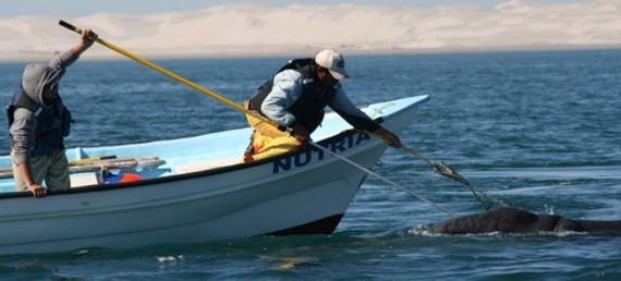rescate ballenas