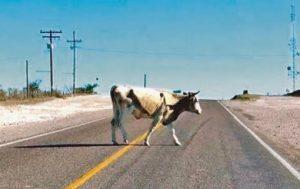 vaca suelta