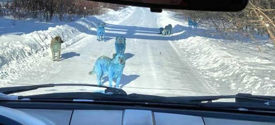 perros-azules